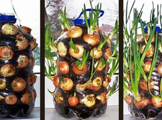 Clasimex.com As plant onions in a plastic bottle step by step and very easy Hydroponics